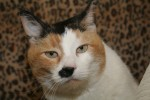 Adeline is 10 years old and is front declawed.