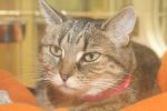 Belle is 11 years old and is front declawed. She came with her littermate Chloe.