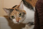 Chloe is the littermate of Belle. She is also 11 years old and front declawed.